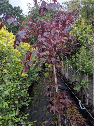 Acer 'Crimson Sentry', Diss, Norfolk - Sandy Lane Nursery