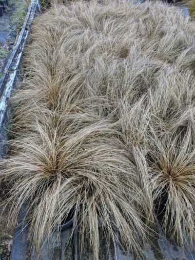 Sandy Lane Nursery - Carex coman bronze