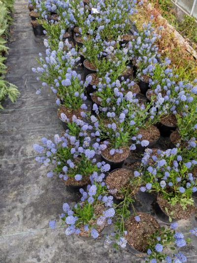 Ceanothus 'Skylark' stock at Sandy Lane Nursery