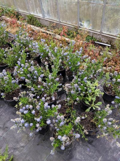 Ceanothus thyrsiflorus 'Skylark' at Sandy Lane Nursery