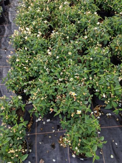 Cistus 'Skanbergii' at Sandy Lane Nursery