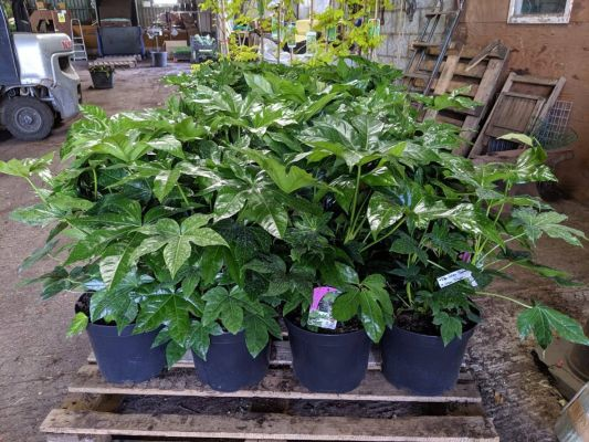 Sandy Lane Nursery Fatsia japonica