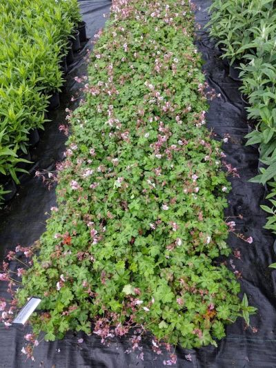 Geranium cantabrigiense 'Biokovo' at Sandy Lane Nursery