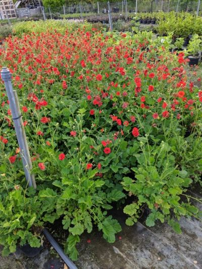 Geum 'Fireball' from Sandy Lane Nursery