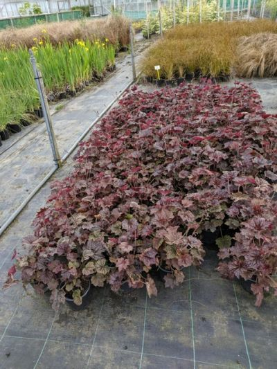 Heuchera 'Palace Purple' stock at Sandy Lane Nursery