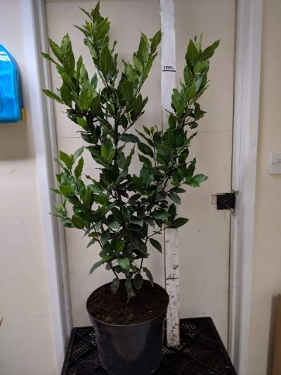 Laurus nobilis - Sandy Lane Nursery