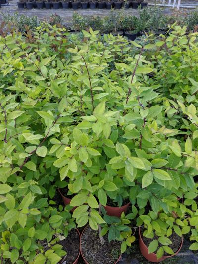 Lonicera fragrantissima at Sandy Lane Nursery