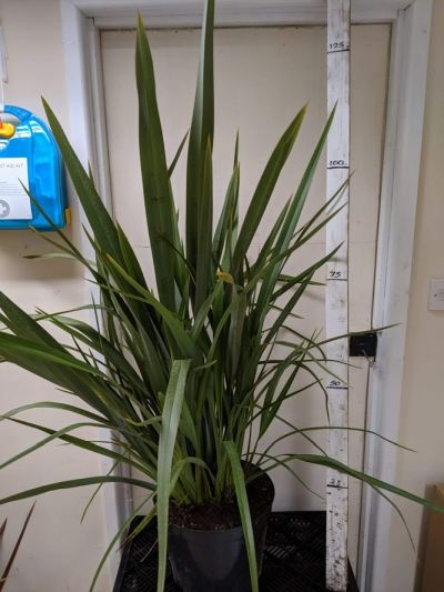 Phormium tenax - Sandy Lane Nursery