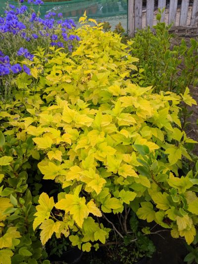 Physocarpus 'Angel Gold' stock at Sandy Lane Nursery