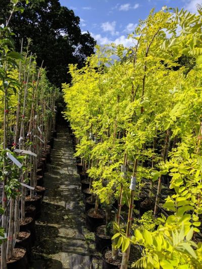 Robinia 'Frisia' - Sandy Lane Nursery