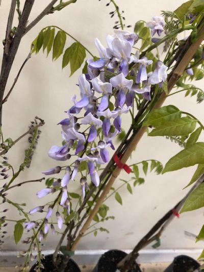 Wisteria formosa - Sandy Lane Nursery