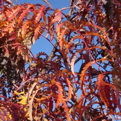sorbus chinese lace